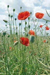 Klatschmohn, Landschaft, Blumen, Mohn