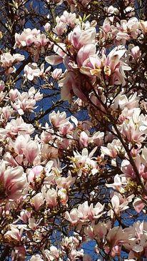 Rosa, Blütenträume, Blauer himmel, Magnolien