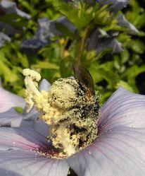 Hummel, Pollen, Rausch, Fotografie