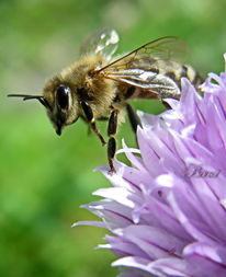 Tiere, Blüte, Biene, Natur
