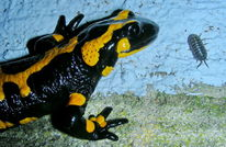 Salamander, Tiere, Fotografie