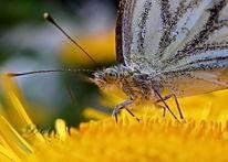 Schmetterling, Pflanzen, Blumen, Makro