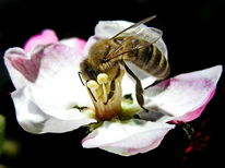 Nahrung, Insekten, Biene, Honigbiene
