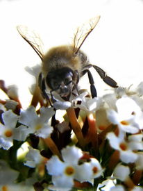 Blumen, Biene, Makro, Insekten