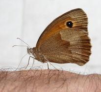 Schmetterling, Insekten, Mystik, Kleines wiesenvögelchen