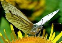 Schmetterling, Motte, Makro, Insekten