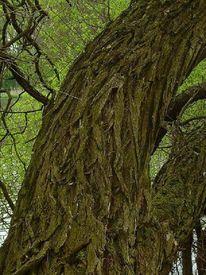Stamm, Rinde, Holz, Baum
