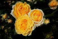 Rose, Garten, Fotografie