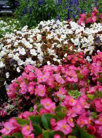 Strauch, Blumen, Farben, Busch