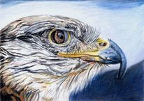 Falke, Vogel, Schnabel, Zeichnungen