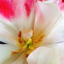 Blumen, Makro, Tulpen, Fotografie