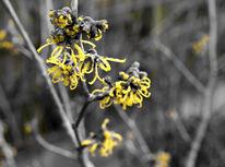 Fotografie, Gelb, Frühling, Zaubernuss