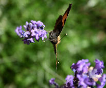 Schmetterling, Tiere, Fotografie