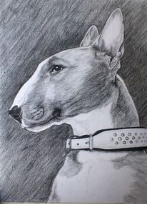 Hund, Bullterrier, Tierportrait, Bulli