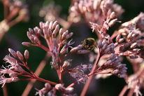 Natur, Fotografie, Pflanzen, Biene