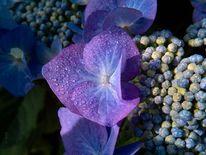 Tautropfen, Blauviolett, Hortensien, Blüte
