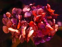 Rot, Hortensien, Fotografie