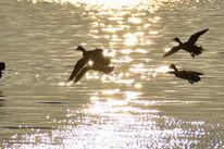 Wasser, Ente, Meeresvögel, Gänse