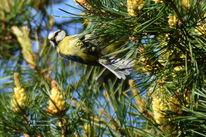 Natur, Vogel, Meise, Fotografie