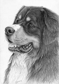 Grafit, Hund, Berner, Zeichnung
