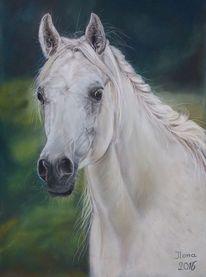 Shagya, Weiß, Lusitano, Pferde