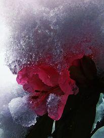 Eis, Schnee, Azaleen, Blumen