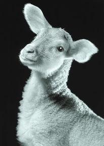 Schwarzweiß, Schaf, Fotografie, Ilfochrome