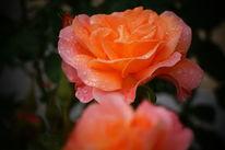 Tau, Tropfen, Rose, Fotografie