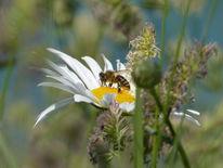 Gras, Seeblau, Insekten, Blüte