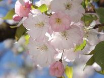 Frühling, Hell, Rosa, Blühen