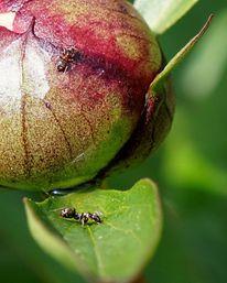 Frühling, Fotografie, Pfingstrose, Blätter
