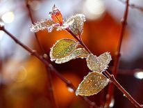 Winter, Schnee, Raureif, Blätter