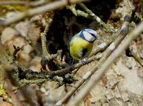 Blaumeise, Äste, Fotografie, Baum