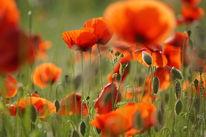 Mohnblüten, Glühen, Blühen, Blumen