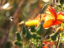 Schwebfliegen, Romeo, Fotografie,