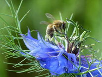 Kreuzkümmel, Jungfer im grünen, Biene, Frühling