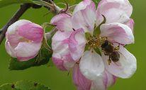 Blühen, Grün, Frühling, Biene