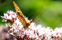 Rosa, Schmetterling, Blüte, Fotografie