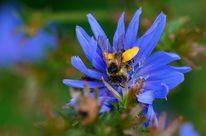 Blau, Insekten, Blüte, Gelb