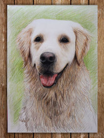 Hund, Tiere, Golden retriever, Polychromos