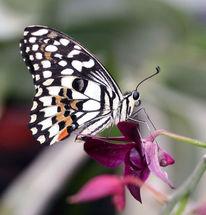 Ritterfalter, Schmetterling, Fotografie