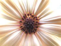 Margerite, Blumen, Blüte, Gelb