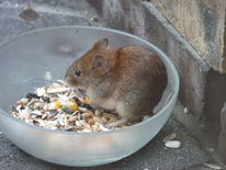 Maus, Feldmaus, Natur, Tiere