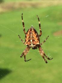 Spinne, Spinnennetz, Wiese, Fotografie