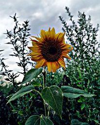 Natur, Sonnenblumen, Blumen, Fotografie