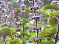 Basilikum, Pflanzen, Fotografie