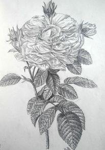 Zeichnung rose, Zeichnungen, Pflanzen, Rose