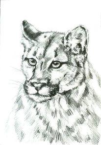 Blick, Tiere, Bleistiftzeichnung, Berglöwe