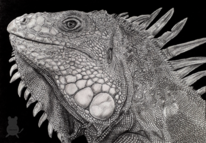 Leguan, Bleistiftzeichnung, Reptil, Zeichnungen