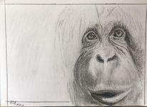 Orangutan, Skizze, Bleistiftzeichnung, Zeichnungen